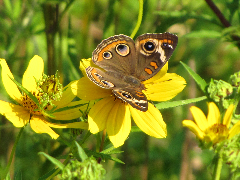 Buckeye Butterfly on Sunflower1